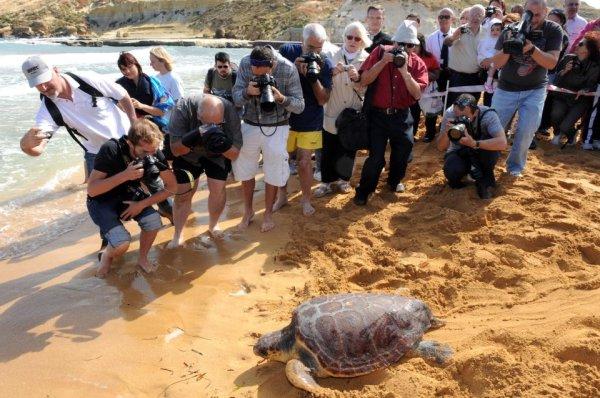 tartarugas cabeçudas são devolvidas ao mar em Malta